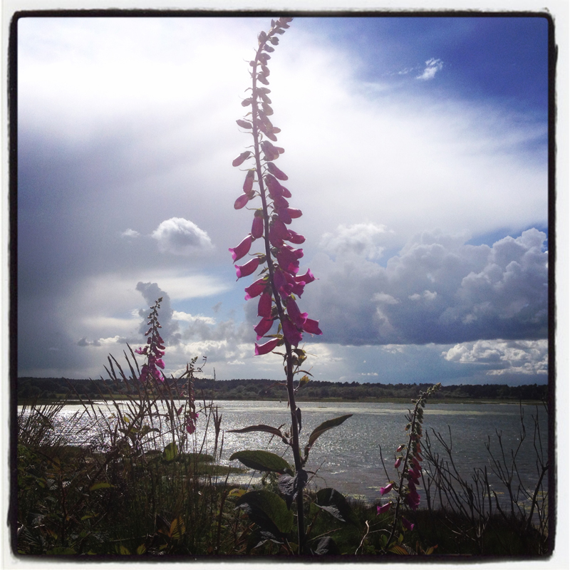 foxgloves-by-the-seaside-summer-wild-flowers-dorset-holidays-where-coast-meets-country-by-The-Pink-House-Lulworth