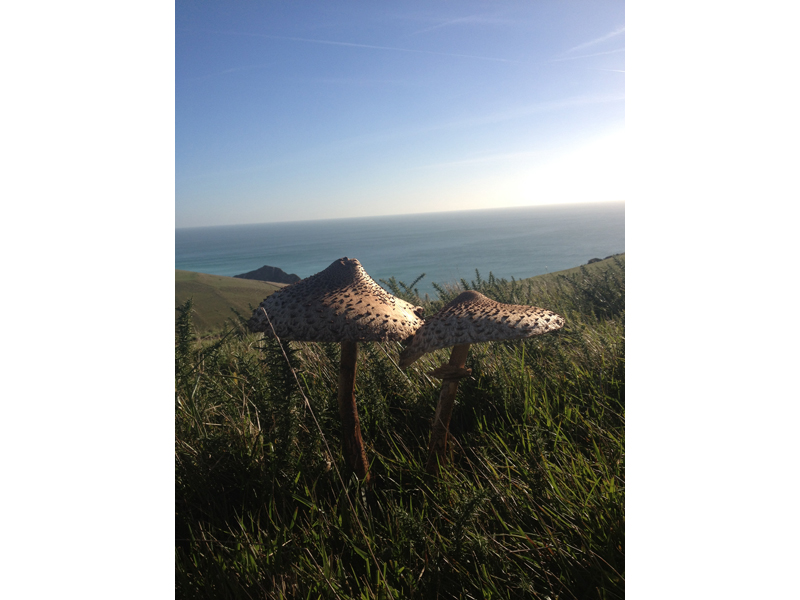 parasol mushrooms found on a holiday walk from The Pink House Lulworth
