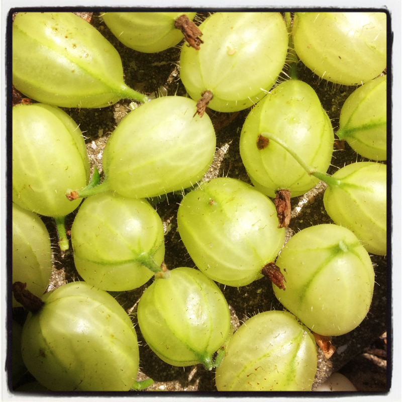 first-of-the-summer-season-gooseberries-from-The-Pink-House-Lulworth-Dorset
