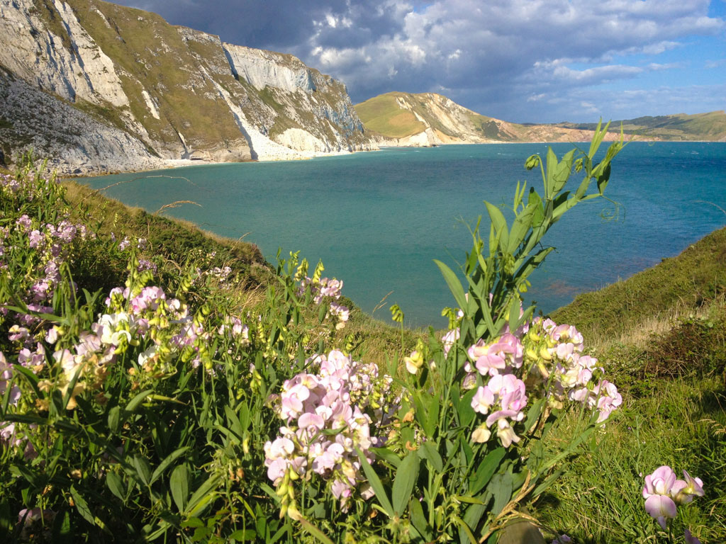 wild sweet peas growing at Mupe Bay Dorset by The Pink house Lulworth